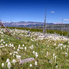 Beargrass (Xerophyllum tenax) in abundance this year in Glacier National Park, Montana