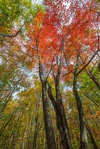 Autumn tall trees