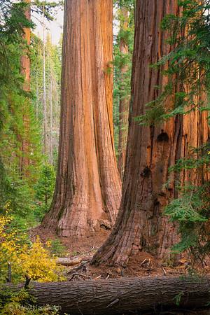 Sequoias Proud