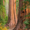 Sequoias Proud