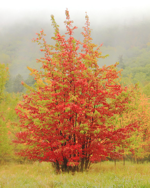 Red Maples in the mist, Acadia National Park