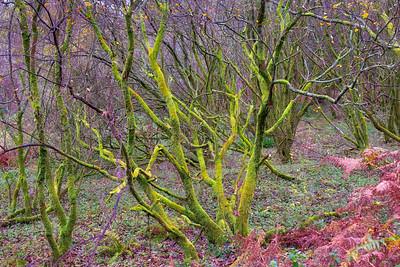 Woodland Moss on Trees