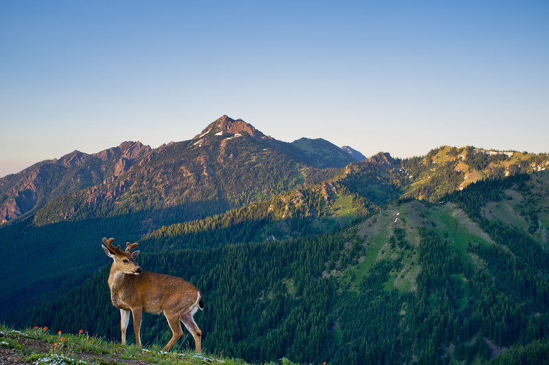 Deer on Hurricane Ridge
