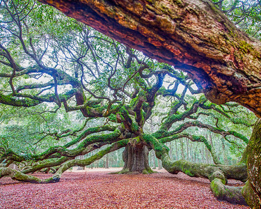1500 Year Old 'Angel Oak'