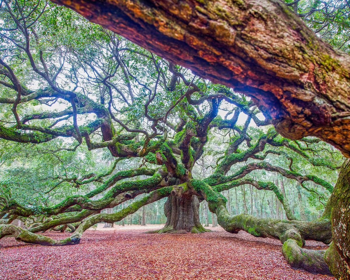 1500 Year Old 'Angel Oak'
