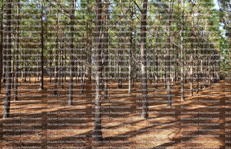 A grove of pine trees planted in a straight line so they grow straighter and taller as a result of direct competition for light.