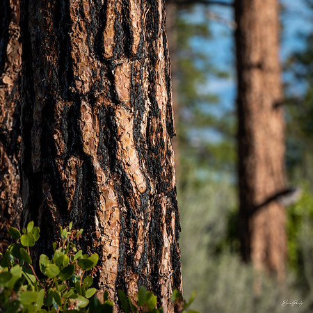 Pine Bark 3