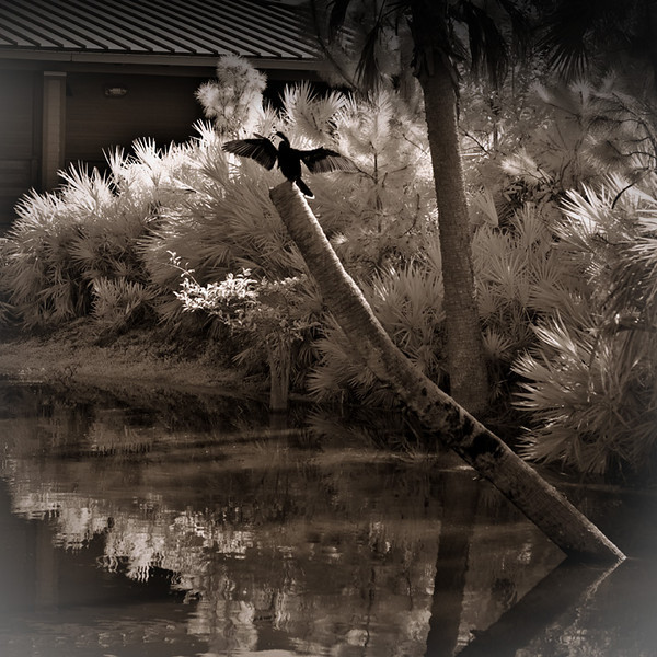Anhinga on Branch