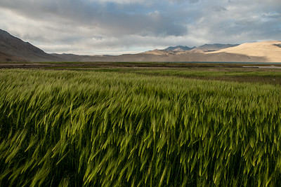 These barley fields separate the village Korzok, the base village for Tso Moriri from the lake itself. Tso Moriri is a high altitude mountain lake in Ladakh. Read about our visit to Tso Moriri at Mystical magical Tso Moriri lake in Ladakh.