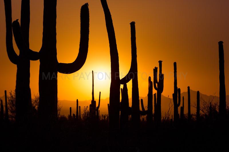 Saguaro Cactus Silhouettes
