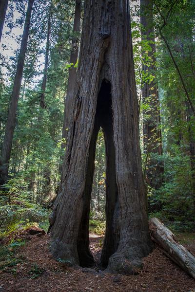 Burnt Redwood
