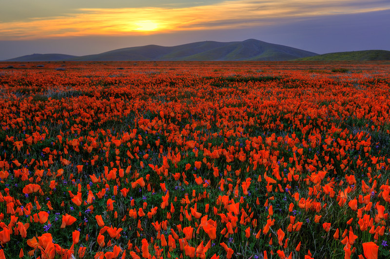 California Poppy Reserve, CA