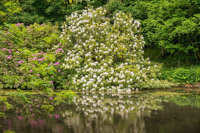 Rhododendron bushes in lake setting Rozelle Park Ayr