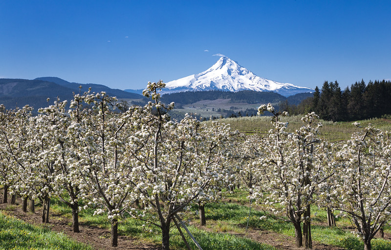 Fruit blossoms in Hood River