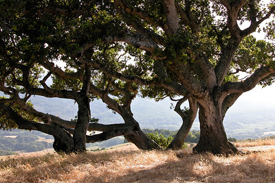 California Oaks