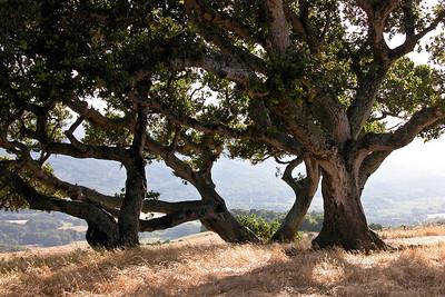 California Oaks