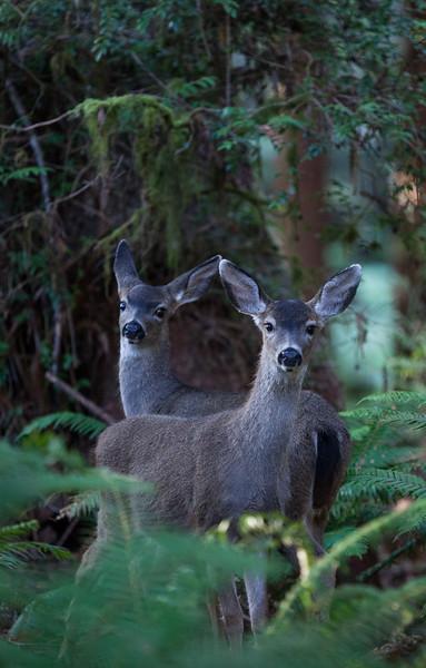 Deer in the Redwoods