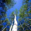 Summer Aspen trees in Lockett Meadow near Flagstaff, AZ