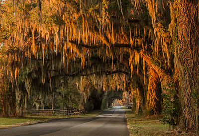 Spanish moss glows with the setting sun on the Florida live oaks that line this country road.