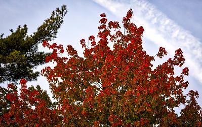 Red Foliage w Pine
