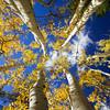 Fall Aspen trees in Lockett Meadow near Flagstaff, AZ