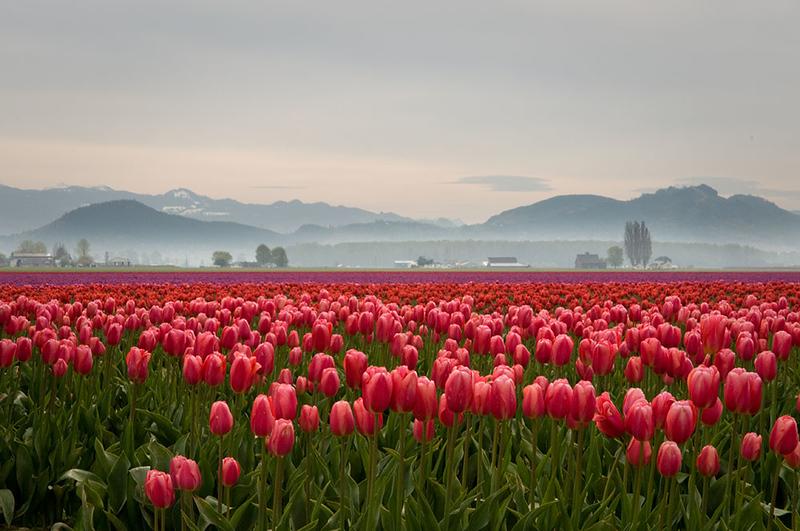 Skagit Valley Tulip Festival 2