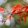 Day #78 - Maple Leaves