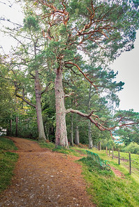Two Very Old Scottish Trees and a nice footpath and bench