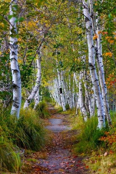 Avenue of the Birches