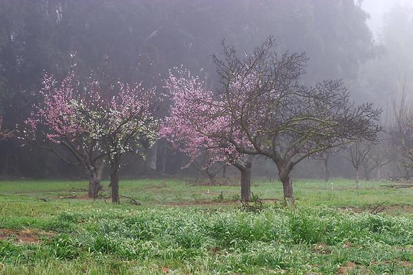 Fruit Trees,  San Pasqual, CA