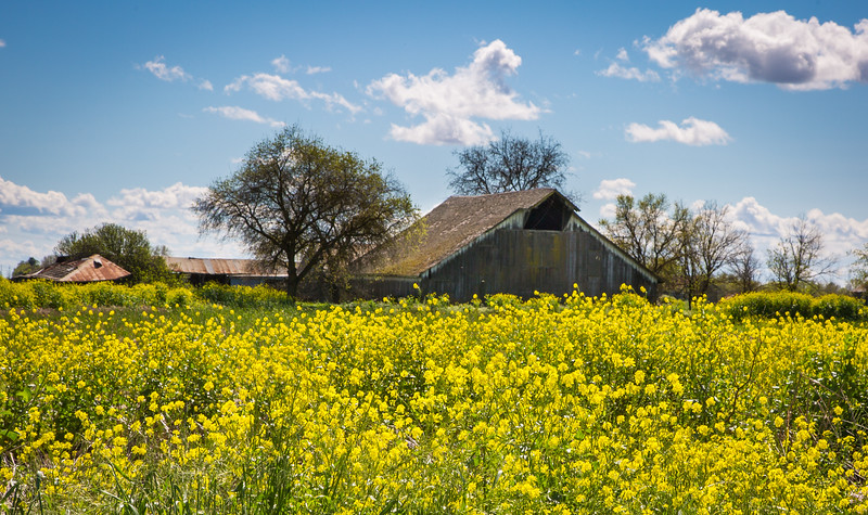 Barn & Mustard 5459