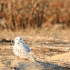 snowy owl-4197