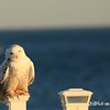 snowy owl-4542