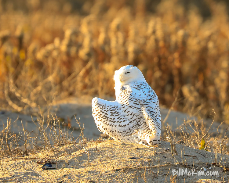 snowy owl-4289