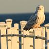 snowy owl-4486