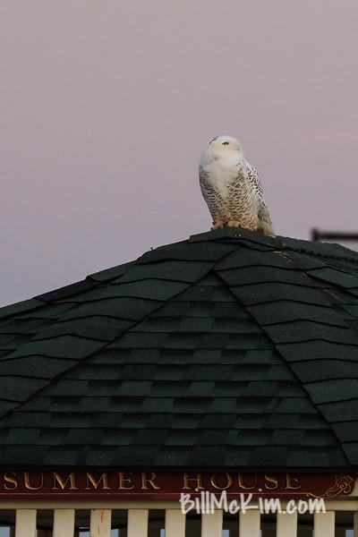 snowy owl-4880