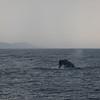 bill mckim jersey shore whale watch  (714 of 492)