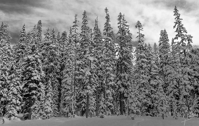 Snowy Trees on the Commonwealth Basin Trail, Snoqualmie Pass region, Washington