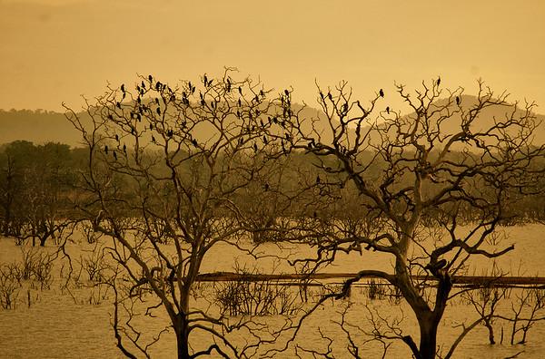 cormorants in sri lanka