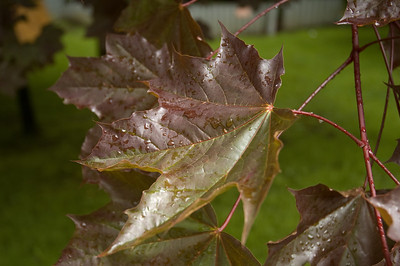 A maple leaf, wet from the morning rain.