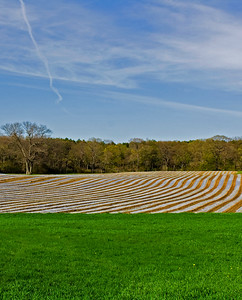 New England Cornfield in the Spring