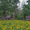Sunflowers Of My Past
