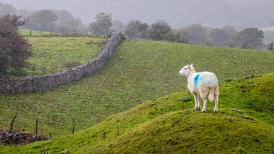 Sheep - alone in the rain