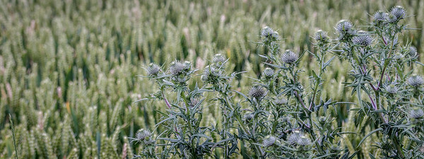 Spear thistle in wheat field