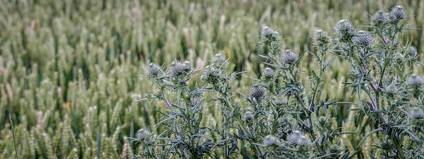 Spear thistle in wheat field