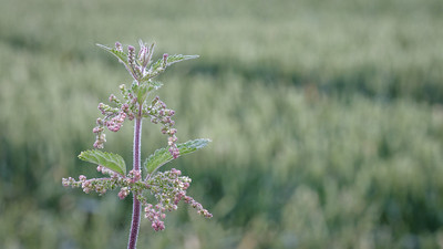 Stinging nettle in wheat field