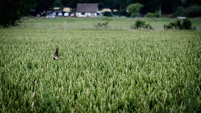 Swallow over wheat field
