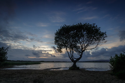 The tree at Kenfig Pool