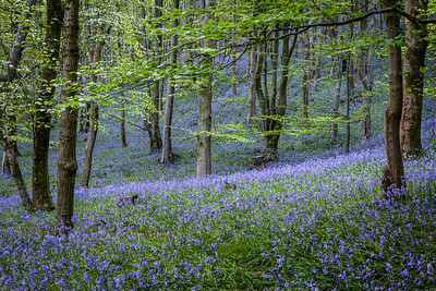 Margam bluebells - 4 and 5 May 2014