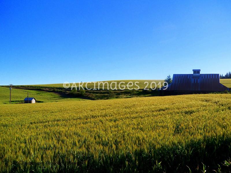 'Rolling Wheat'